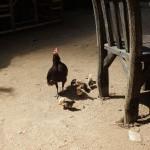 Chicken_Mama